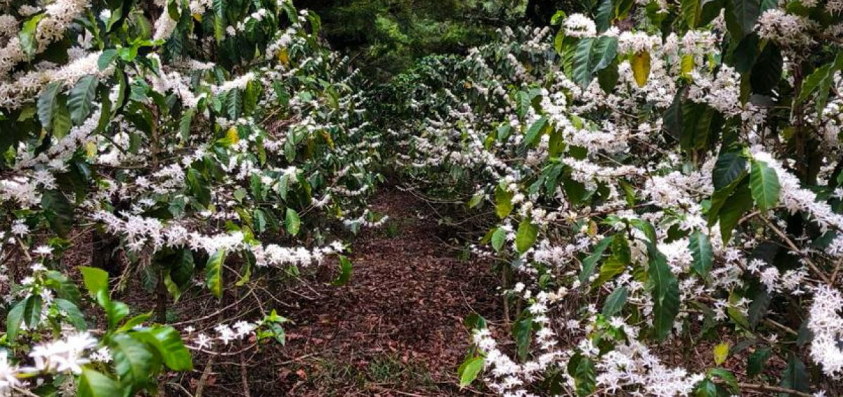 Flowering Coffee Trees in His Plantation Located inAntigua Guatemala