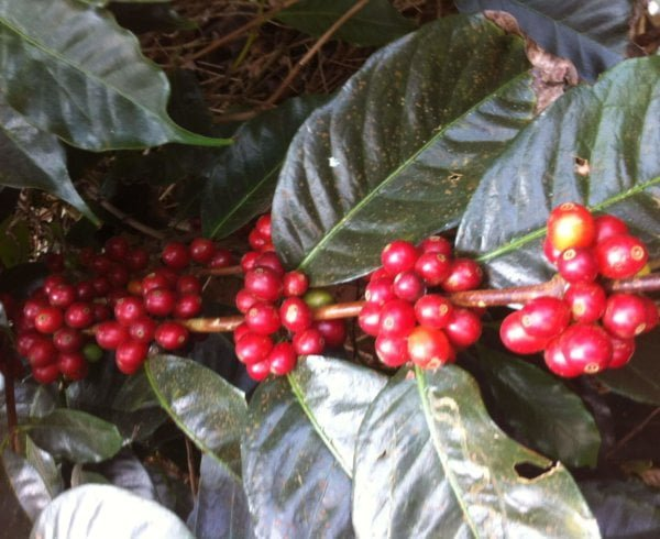 Photograph of coffee cherries. Learn about the lifecycle of coffee beans at Yahava's website today.